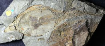 This is a fossil of a jawless fish. -  Emma Randle, University of Manchester