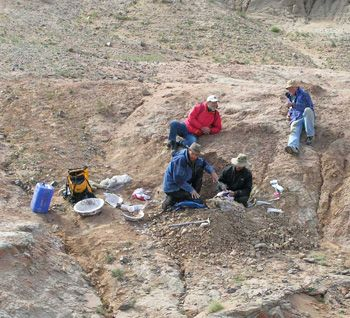 Gerry Ohrstrom, left, and Dave Sands, watch Nels Peterson, left, and John Scannella excavate a dinosaur near MSU's Osh Camp in Mongolia. It was even more primitive than the new species described this month from Choteau. (Photo courtesy of Jack Horner).(Photo courtesy of Jack Horner).